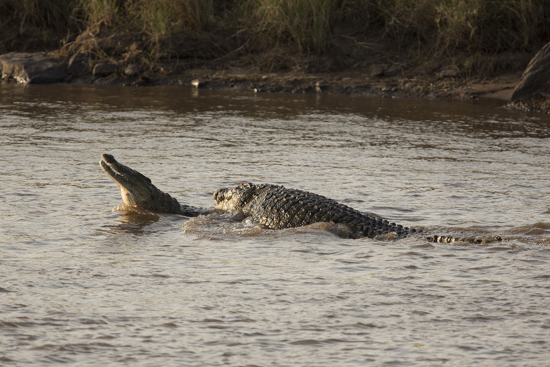 crocodile mating