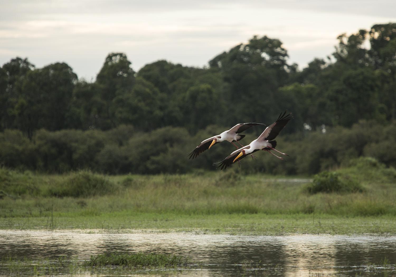 Yelow billed Storks