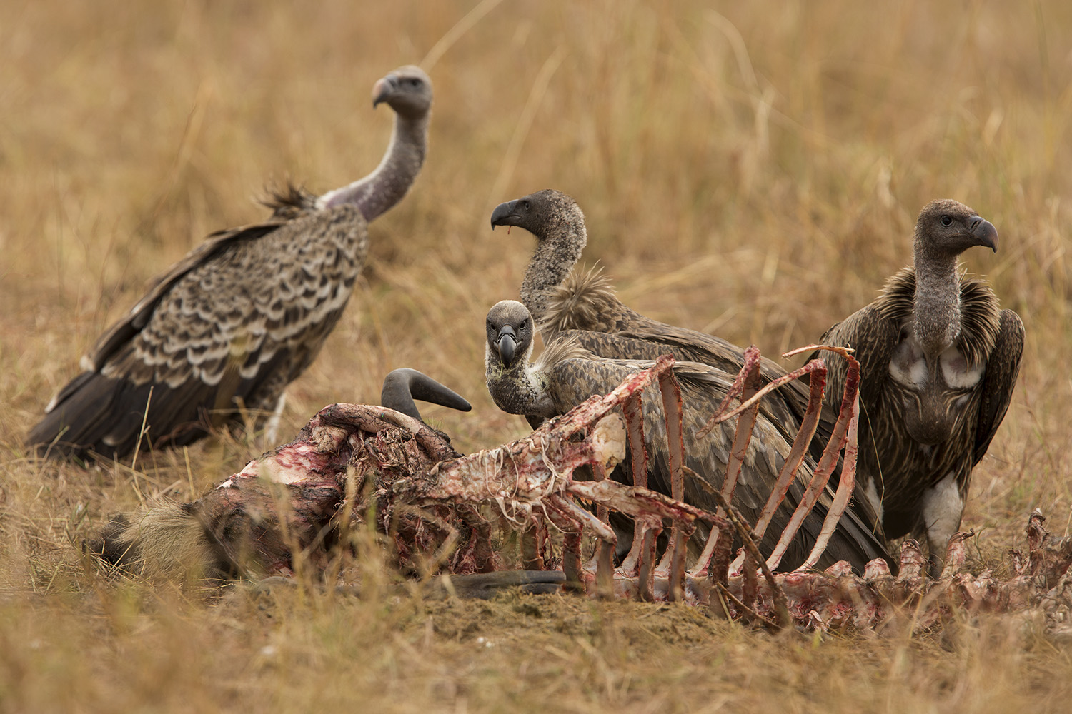 Vultures eating a carcass
