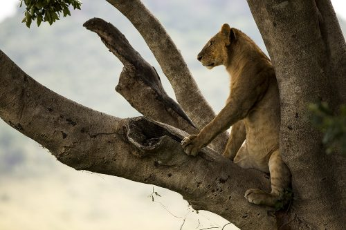 A young lion confidently sitting in the fork of a tree