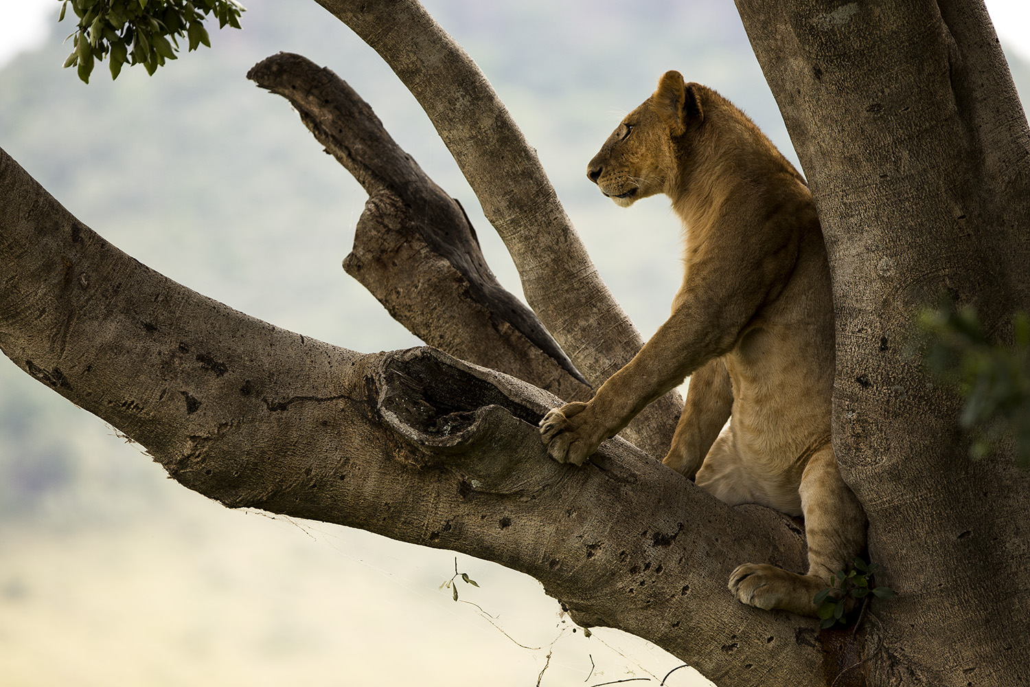 Lioness in tree sitting