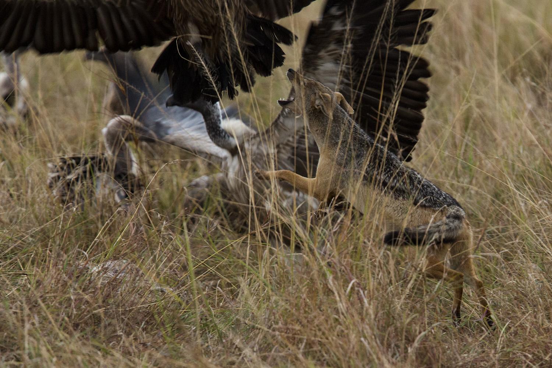 Jackals versus Vultures jump