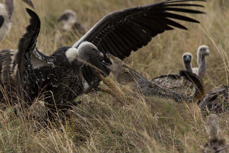 Jackals versus vultures attack
