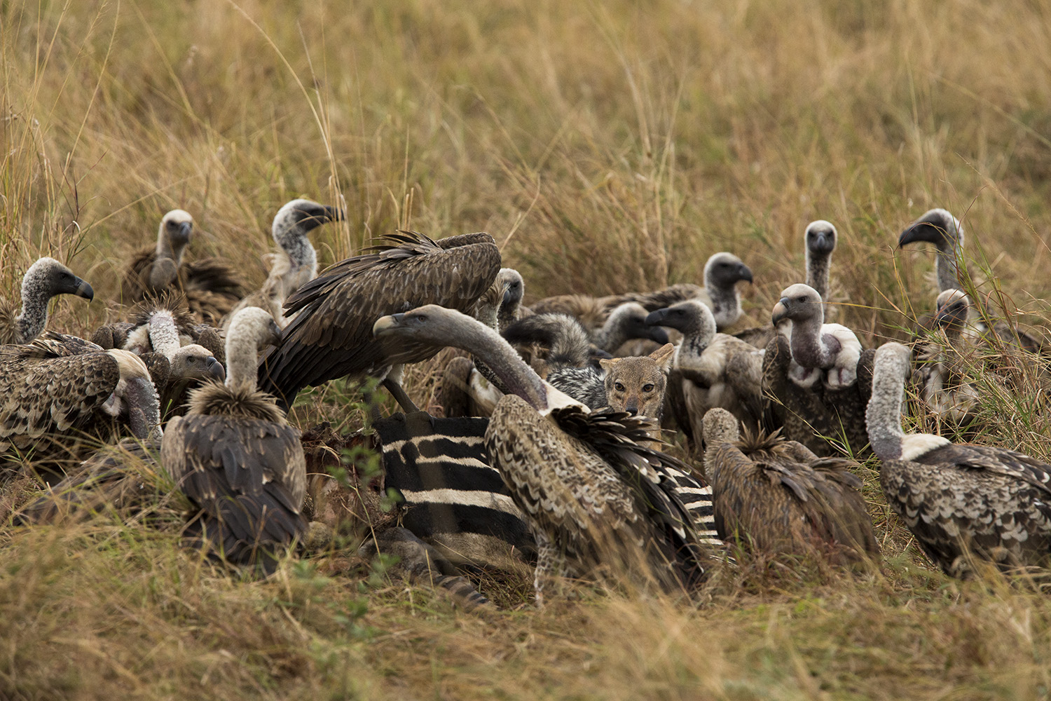 Jackal versus vulture over a zebra carcass
