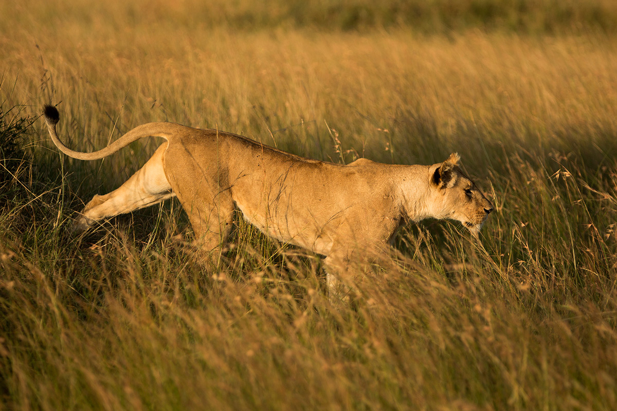 Angama-Lioness-comes-down