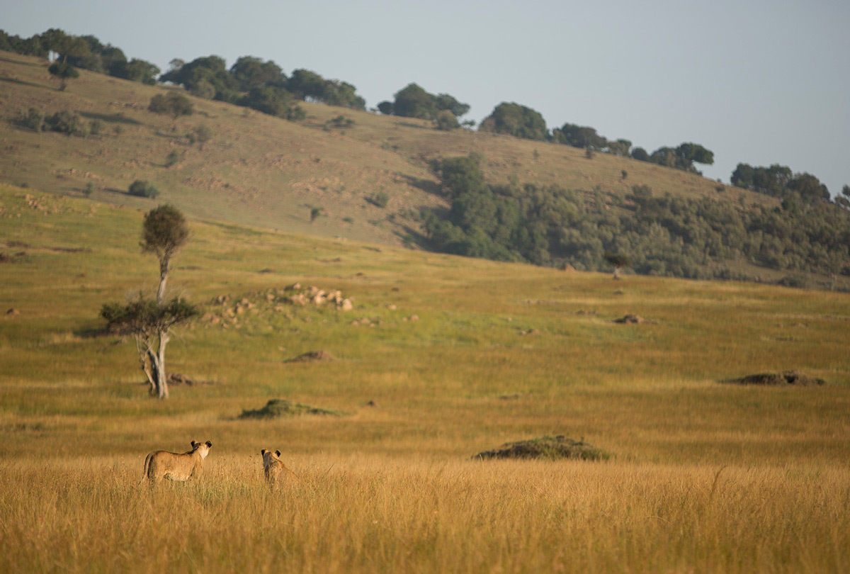Angama-Pride-looking-over-grass