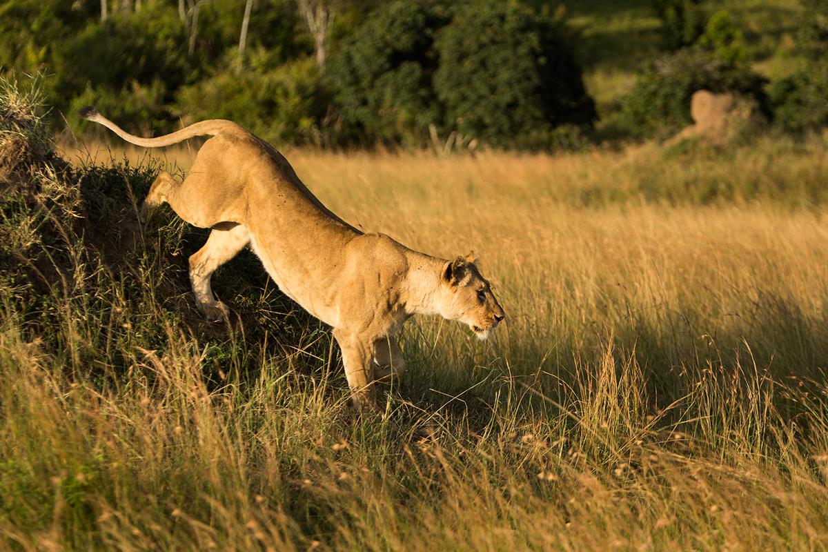 Angama-lioness-starts-hunting