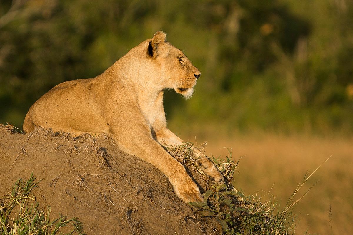 Angama-pride-lioness-close-up
