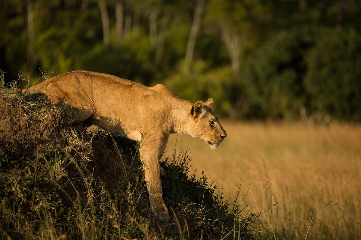 Angama-pride-lioness-stalks