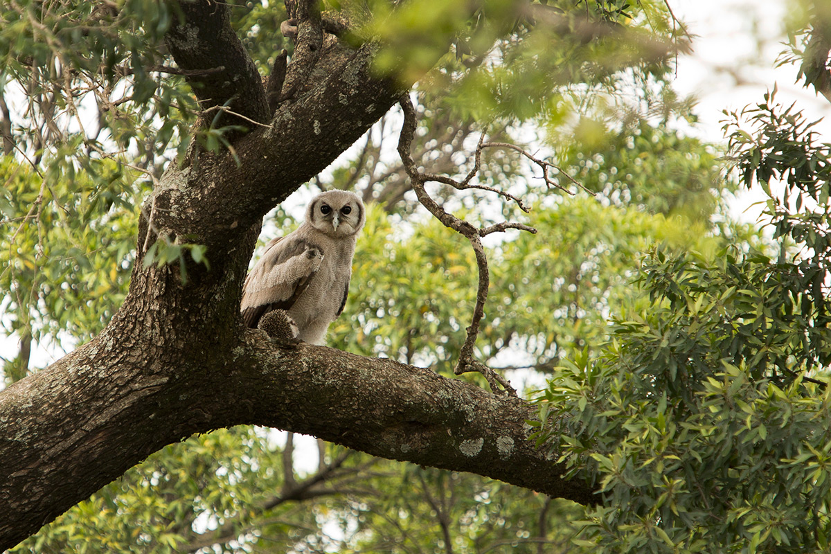 Verraux-Eagle-Owl-and-Hedgehog