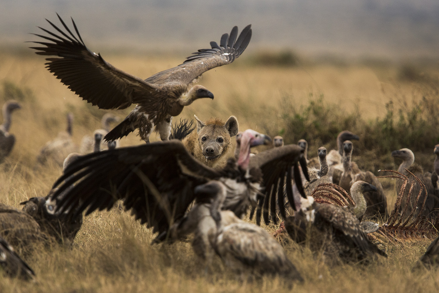 Hyena face and vultures