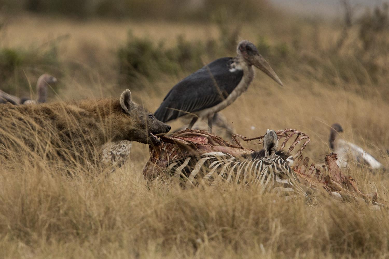 Hyena pulling
