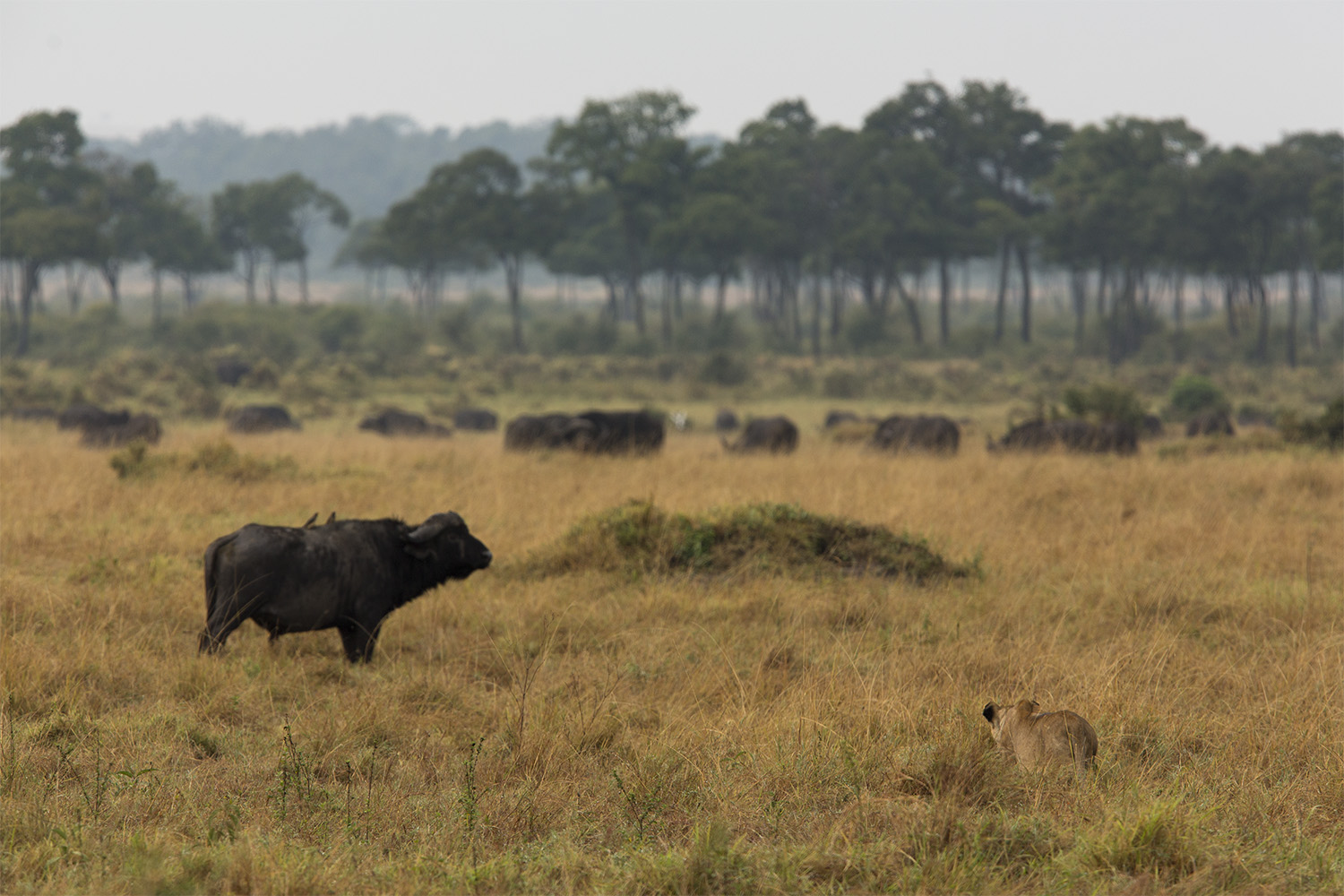Lion and buffalo in the mara triangle