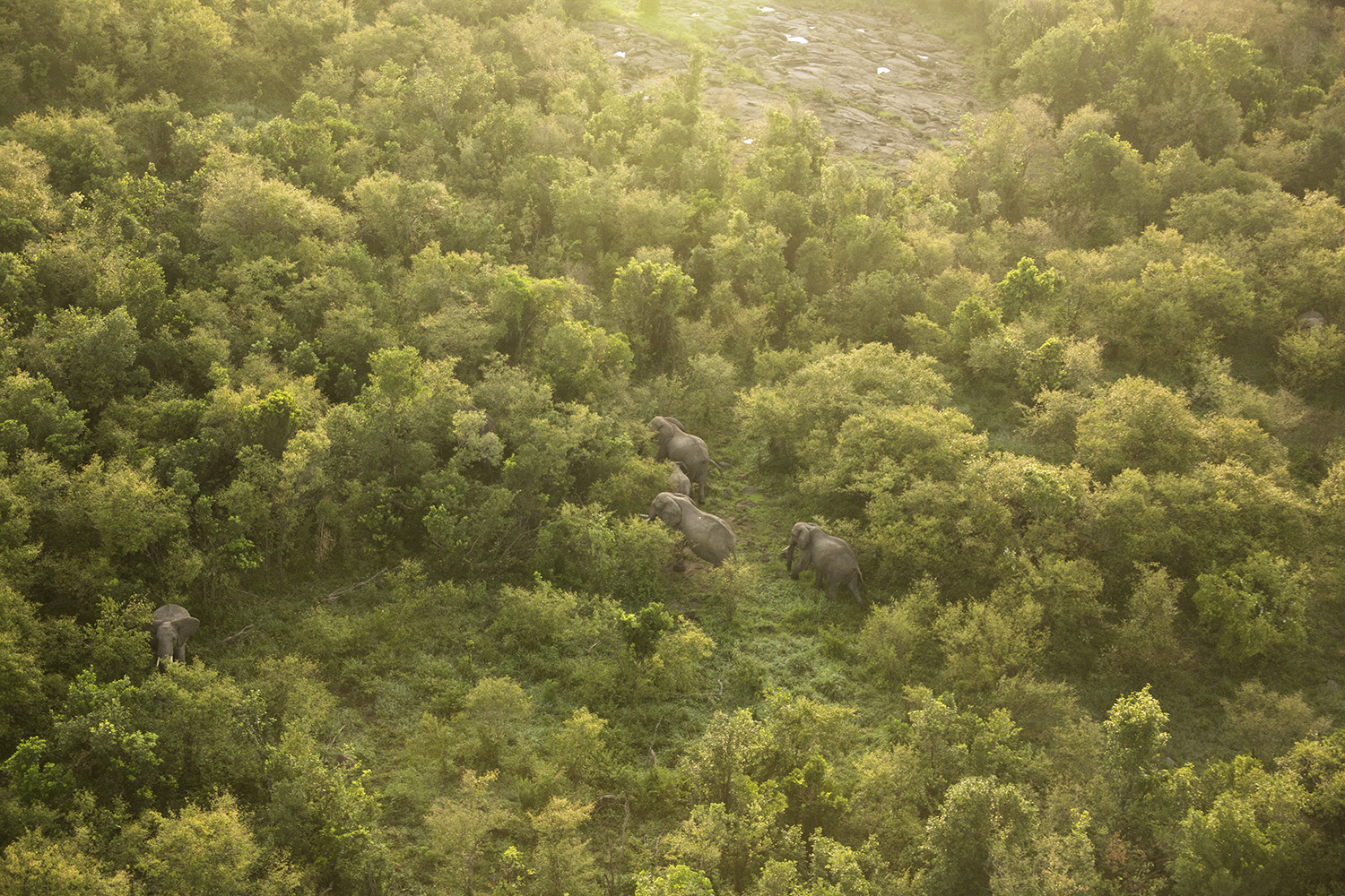 Helicopter elephants in forest