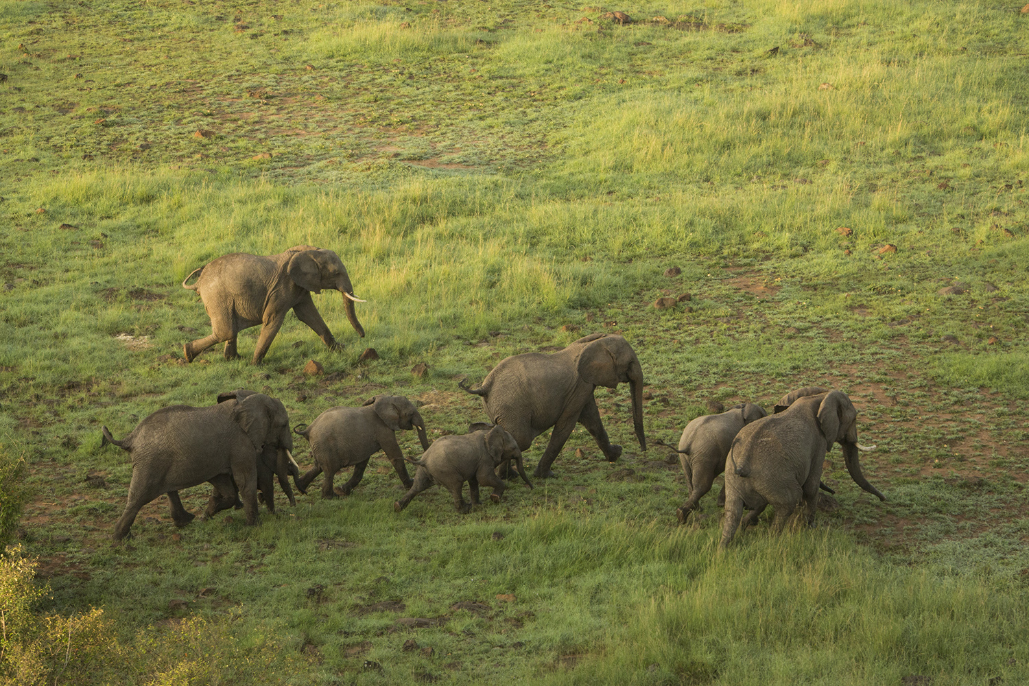 Helicopter elephants running