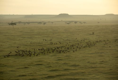 A helicopter view of a topi herd