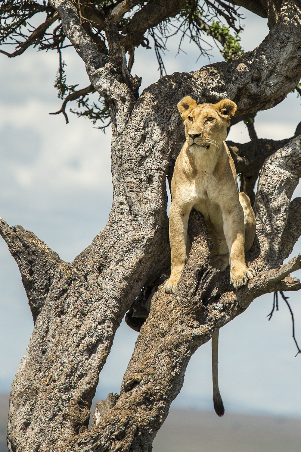 Lioness in tree starring
