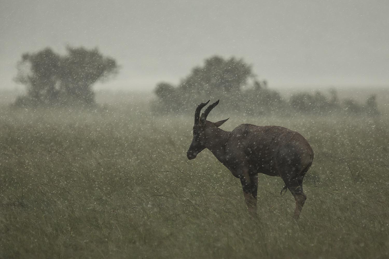 Topi and rain