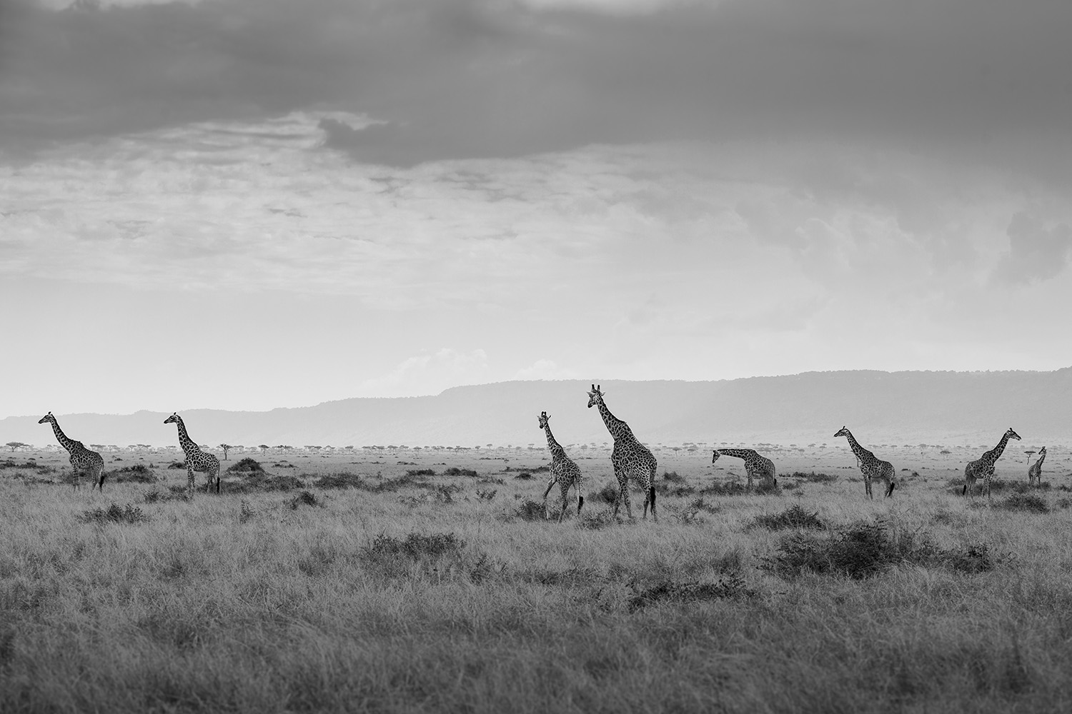 Giraffes in black and white