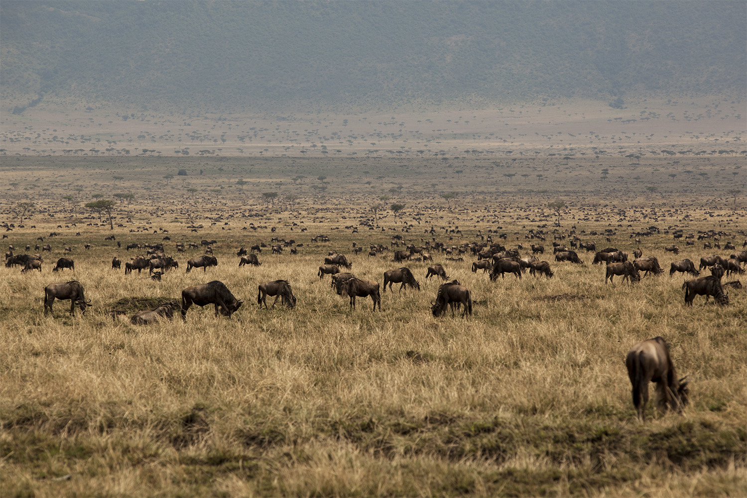 Wildebeest herd on burnt grass