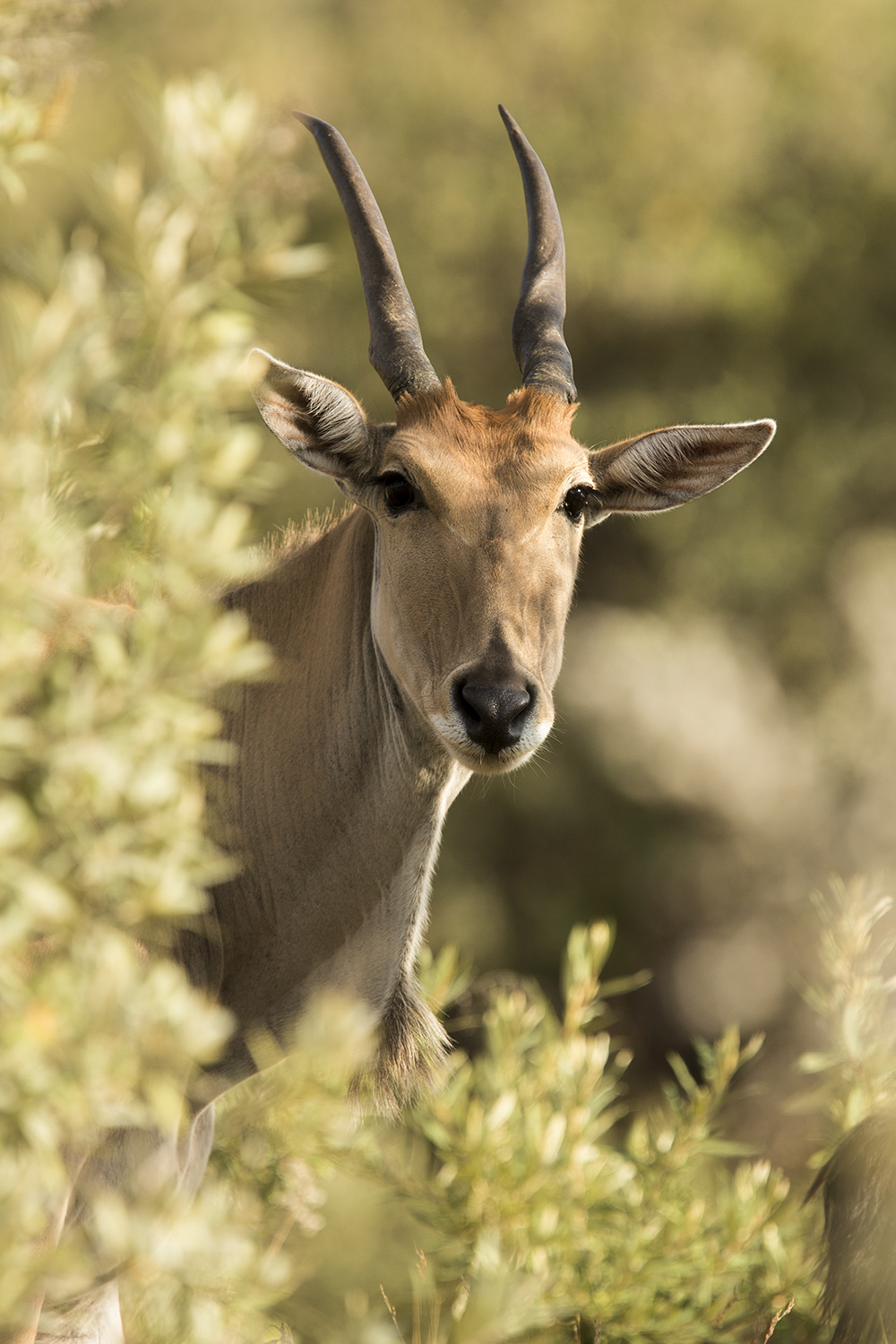 Eland stareing at photographer