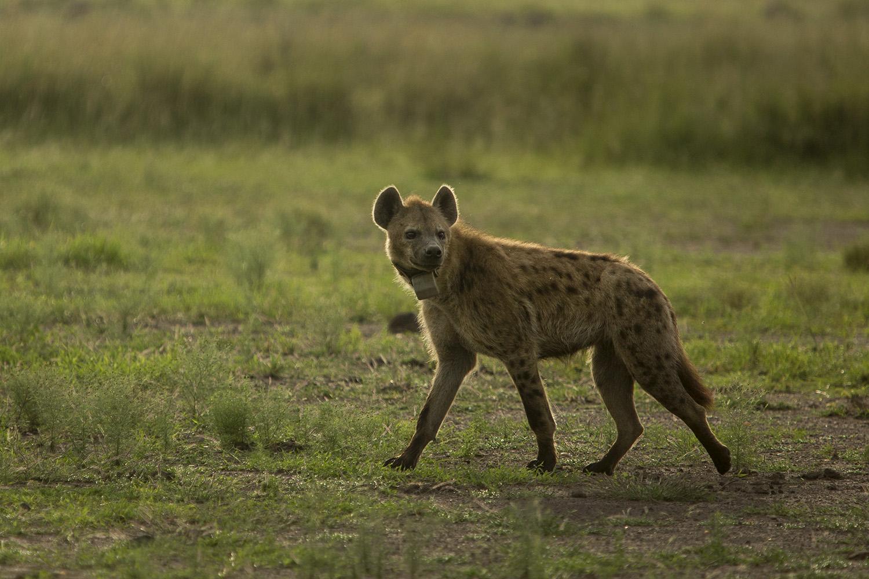 Hyena Michelle