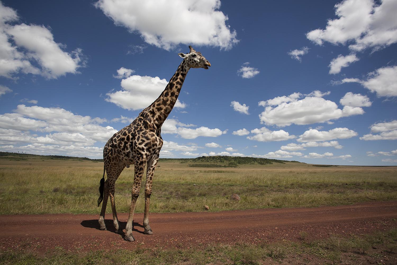 Giraffe and sky