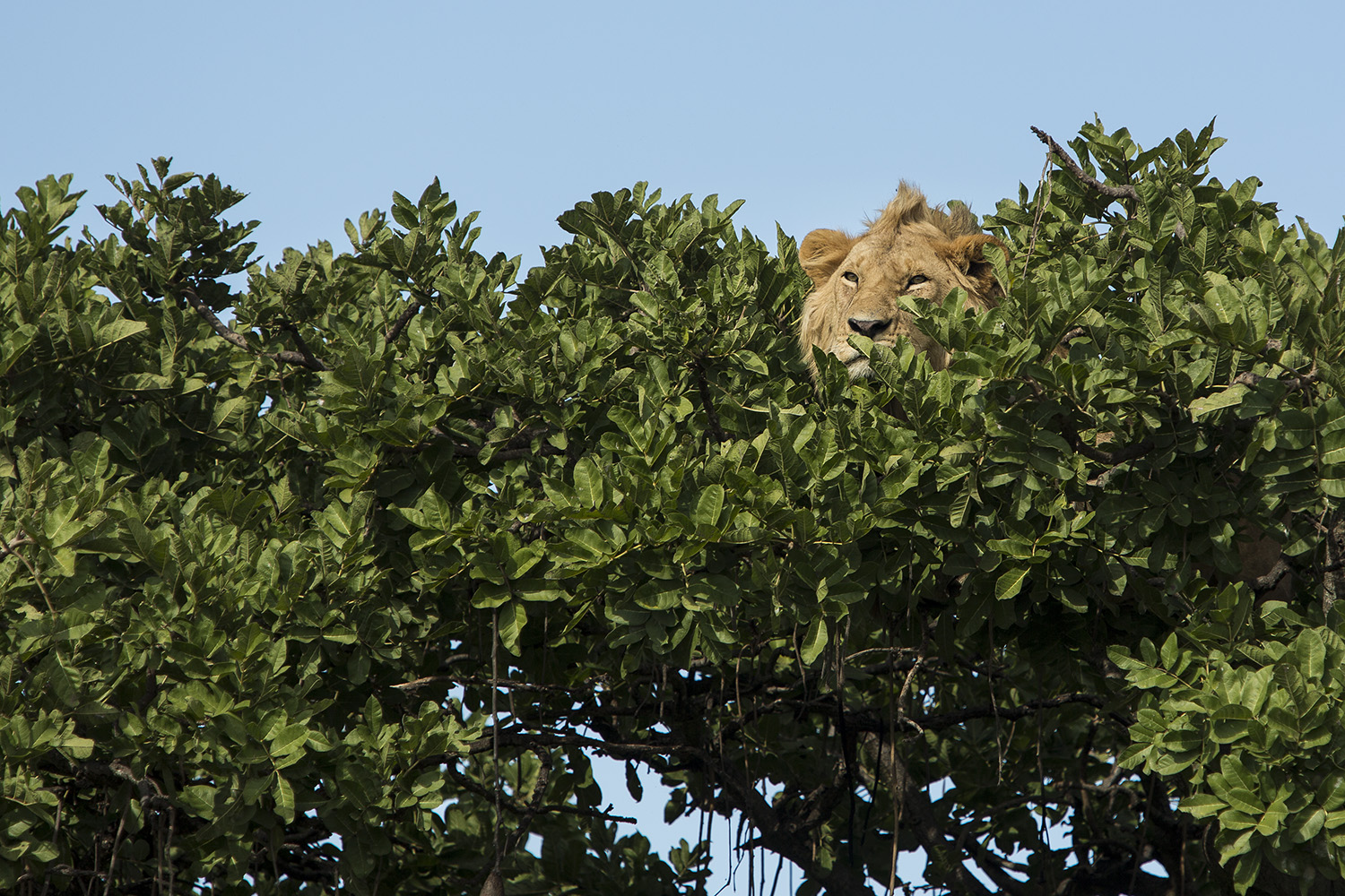 Lion male in tree close