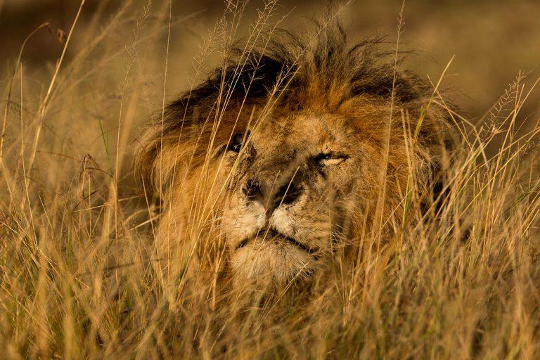 Scarface - Maasai Mara