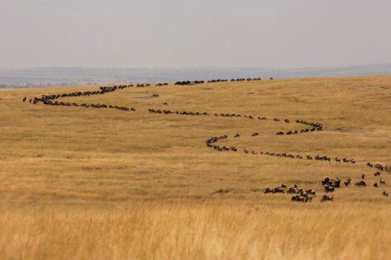 Wildebeest-curve Maasai Mara
