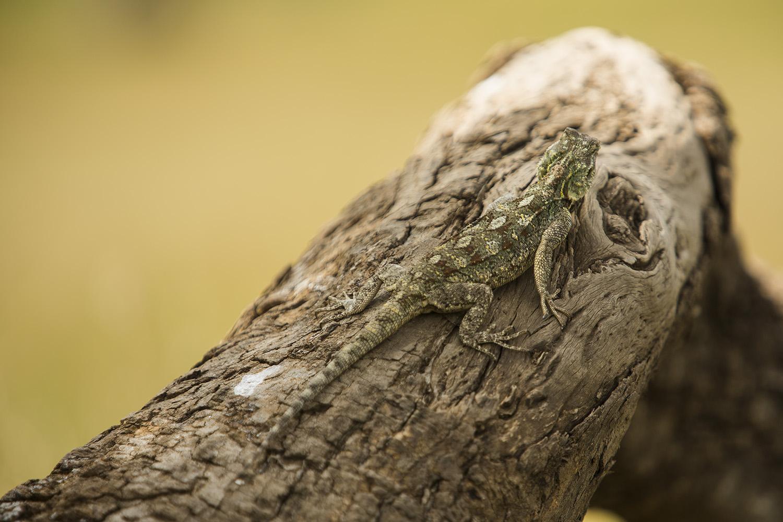 Agama lizard female on tree