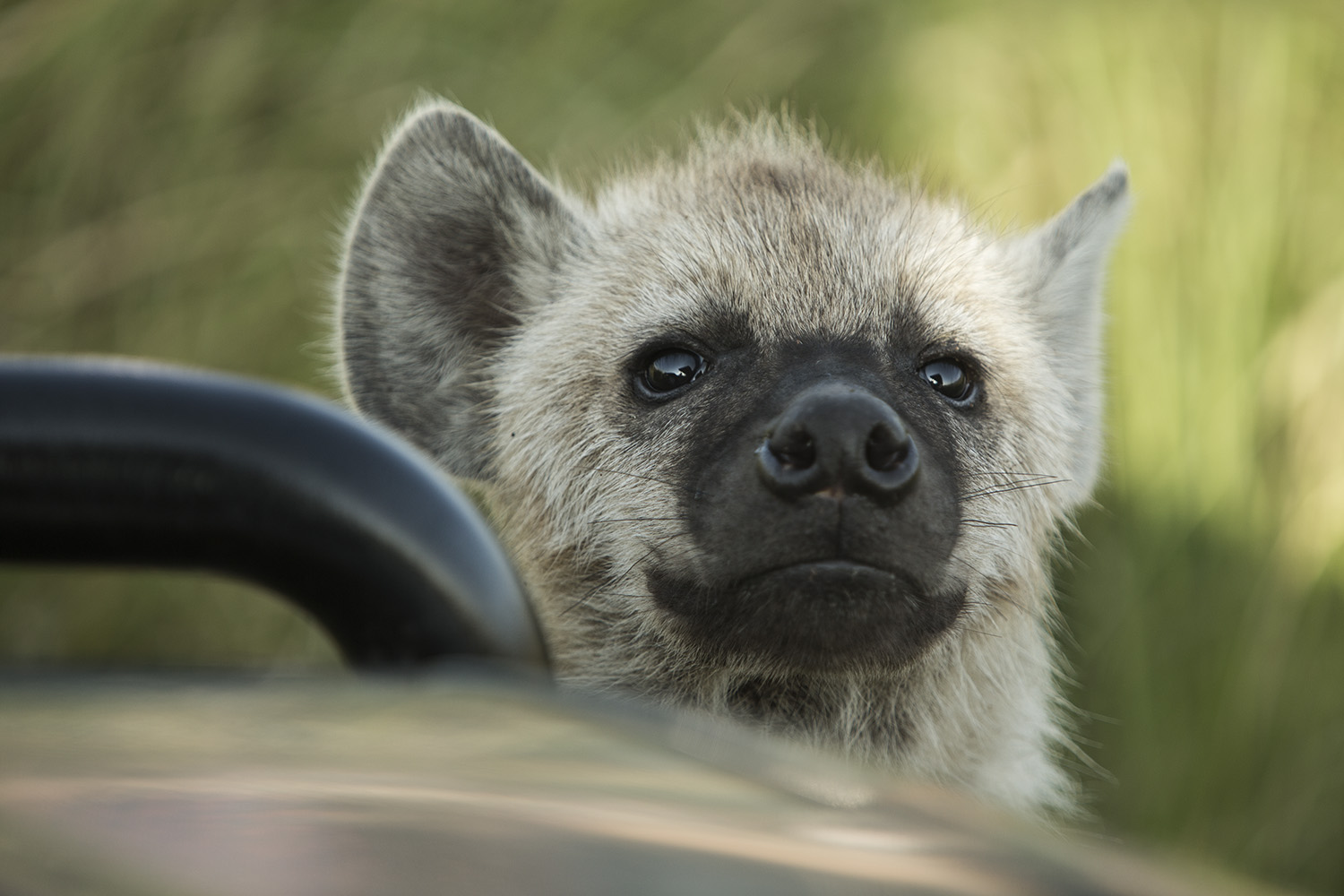 Hyena baby and car