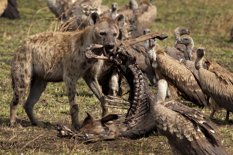Hyena and backbone