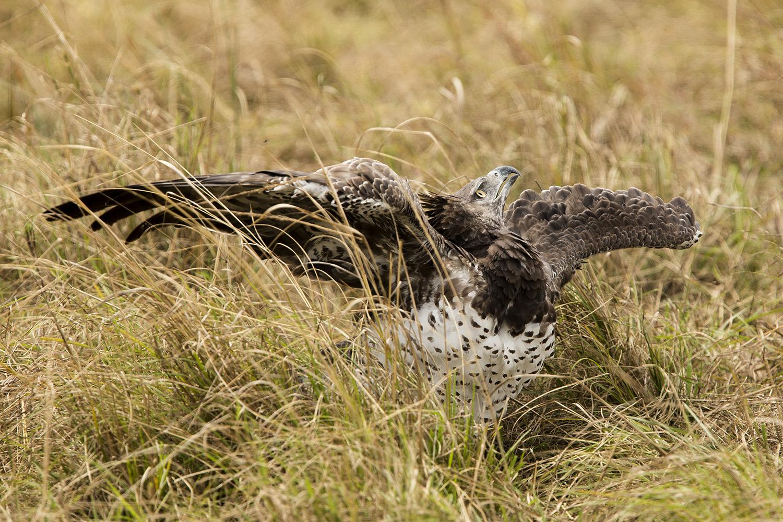 Martial Eagle under attack