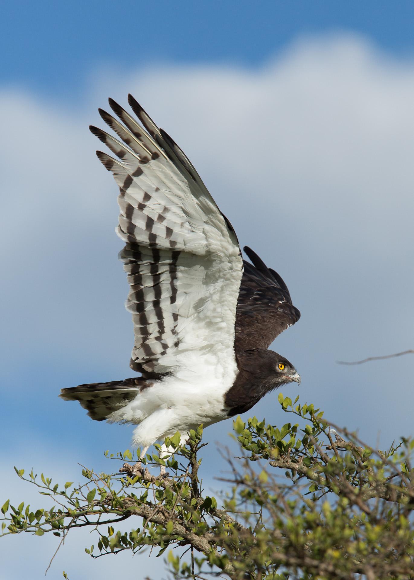 Snake eagle take off