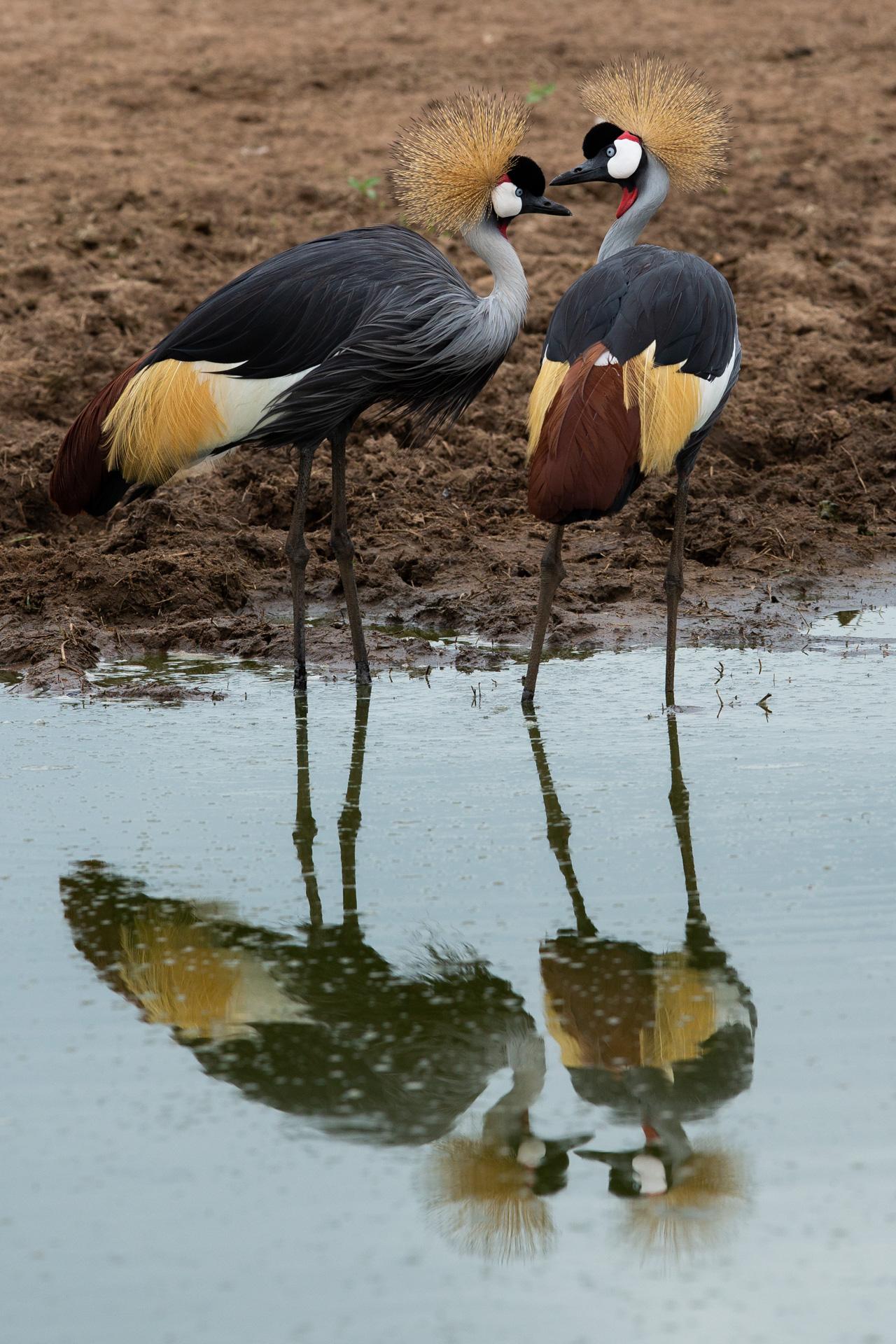Cranes together