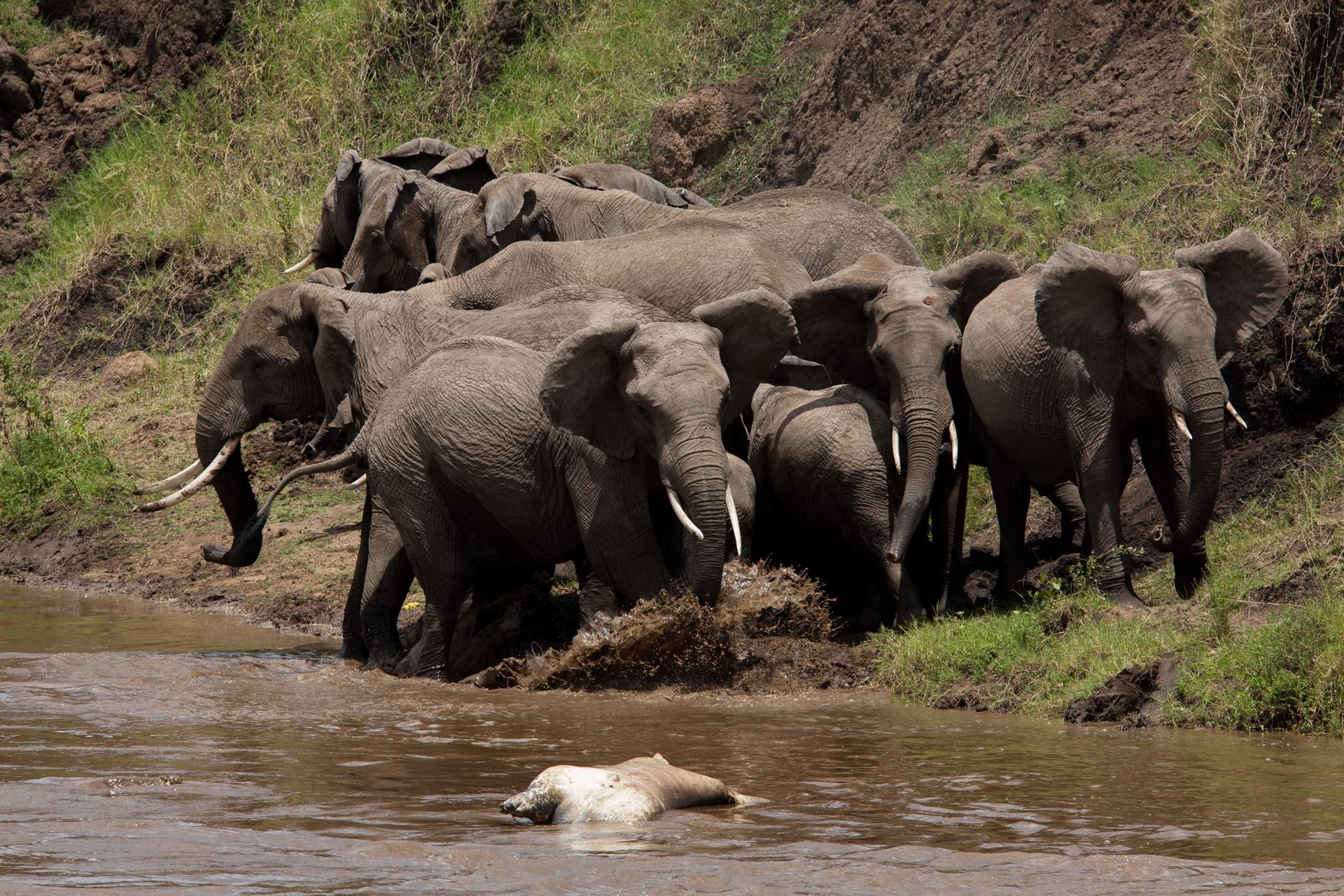 Elephants and hippo
