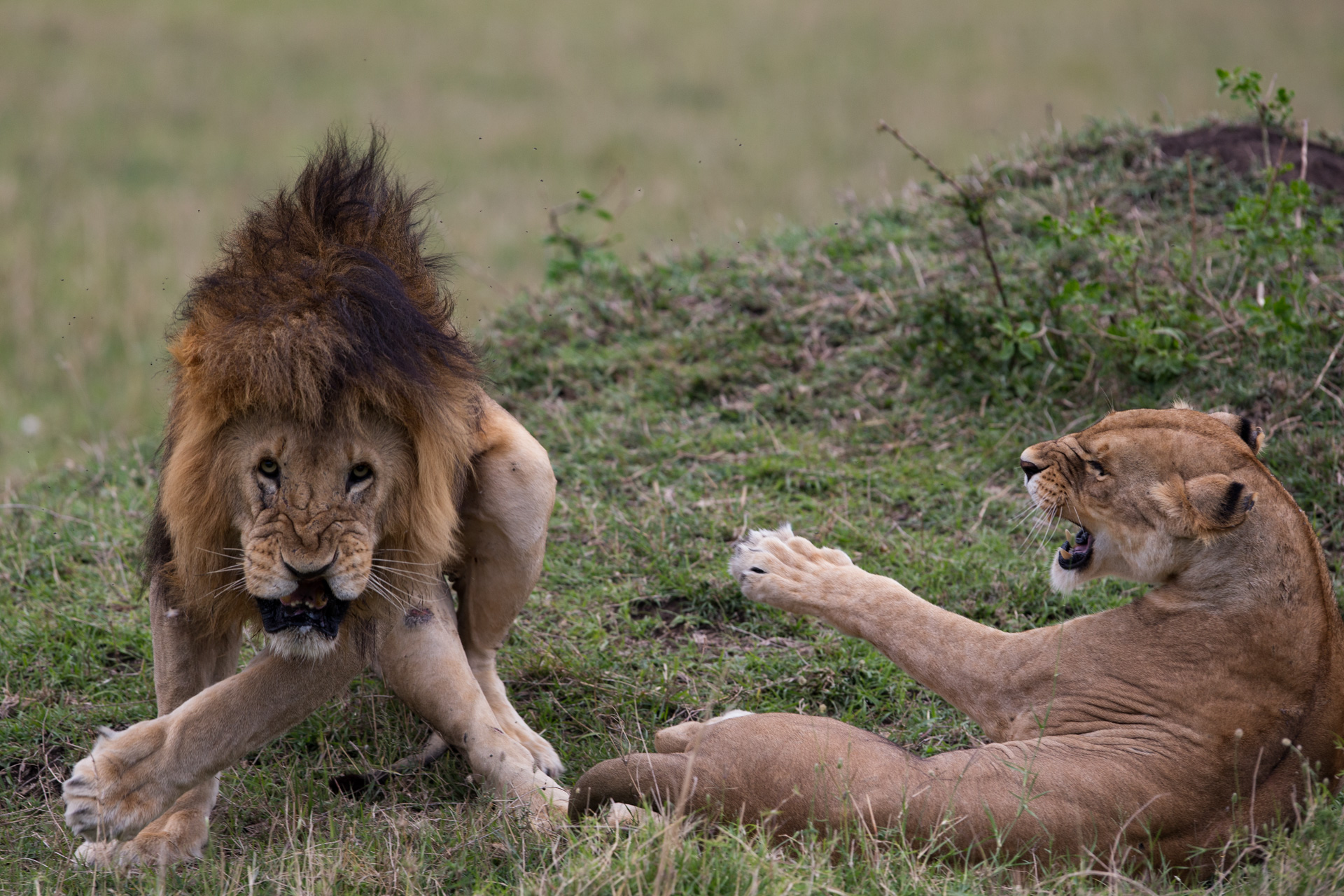 Lions mating funny face