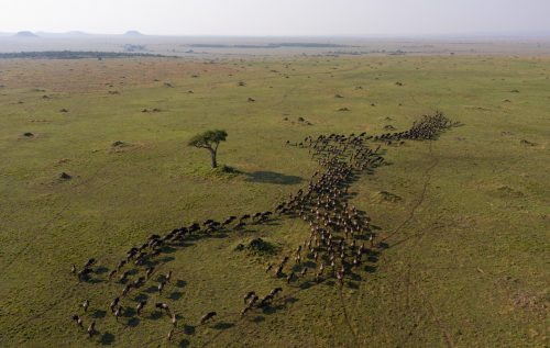 A small column of wildebeest on the march