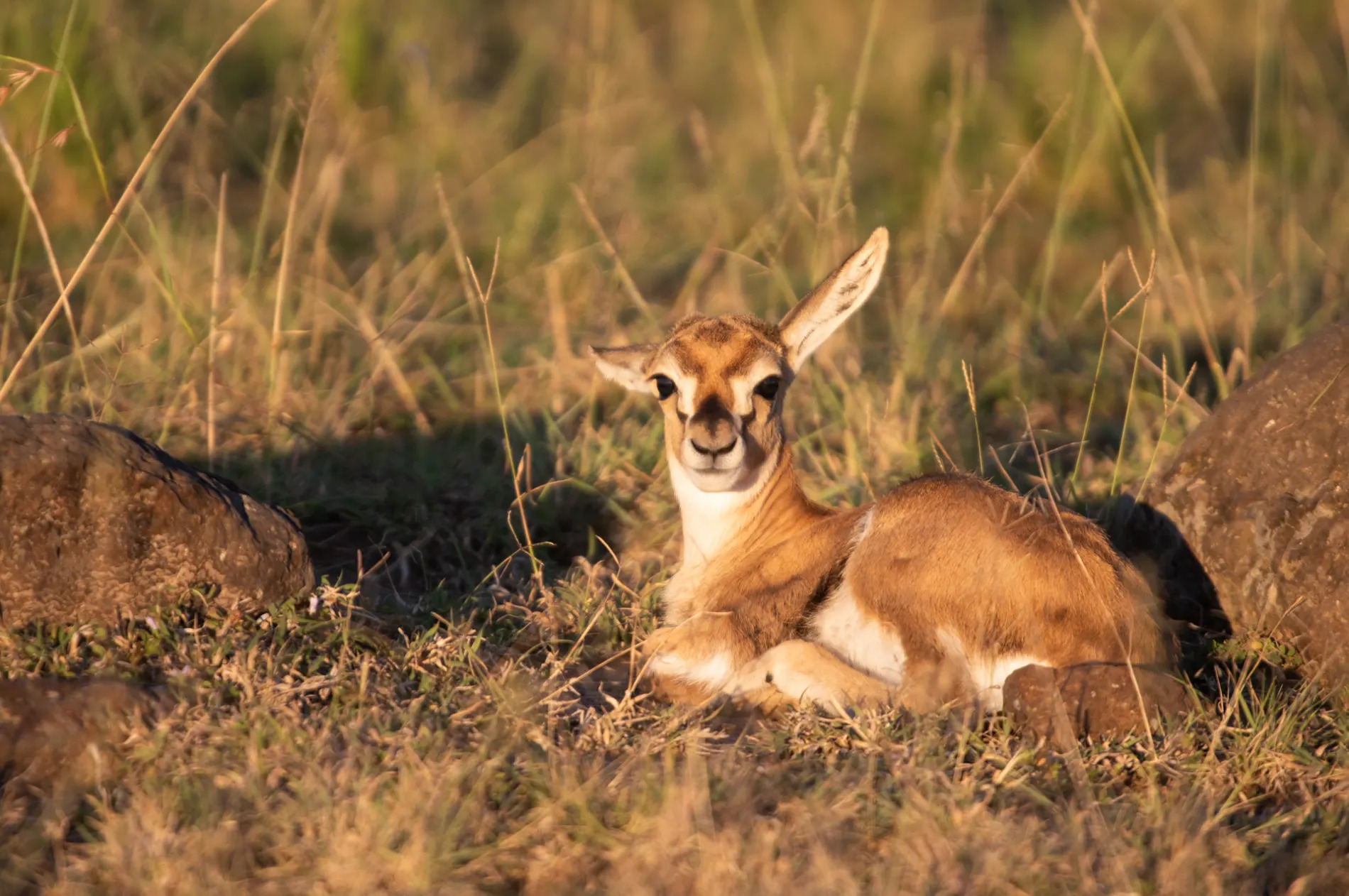 Gazelle Baby
