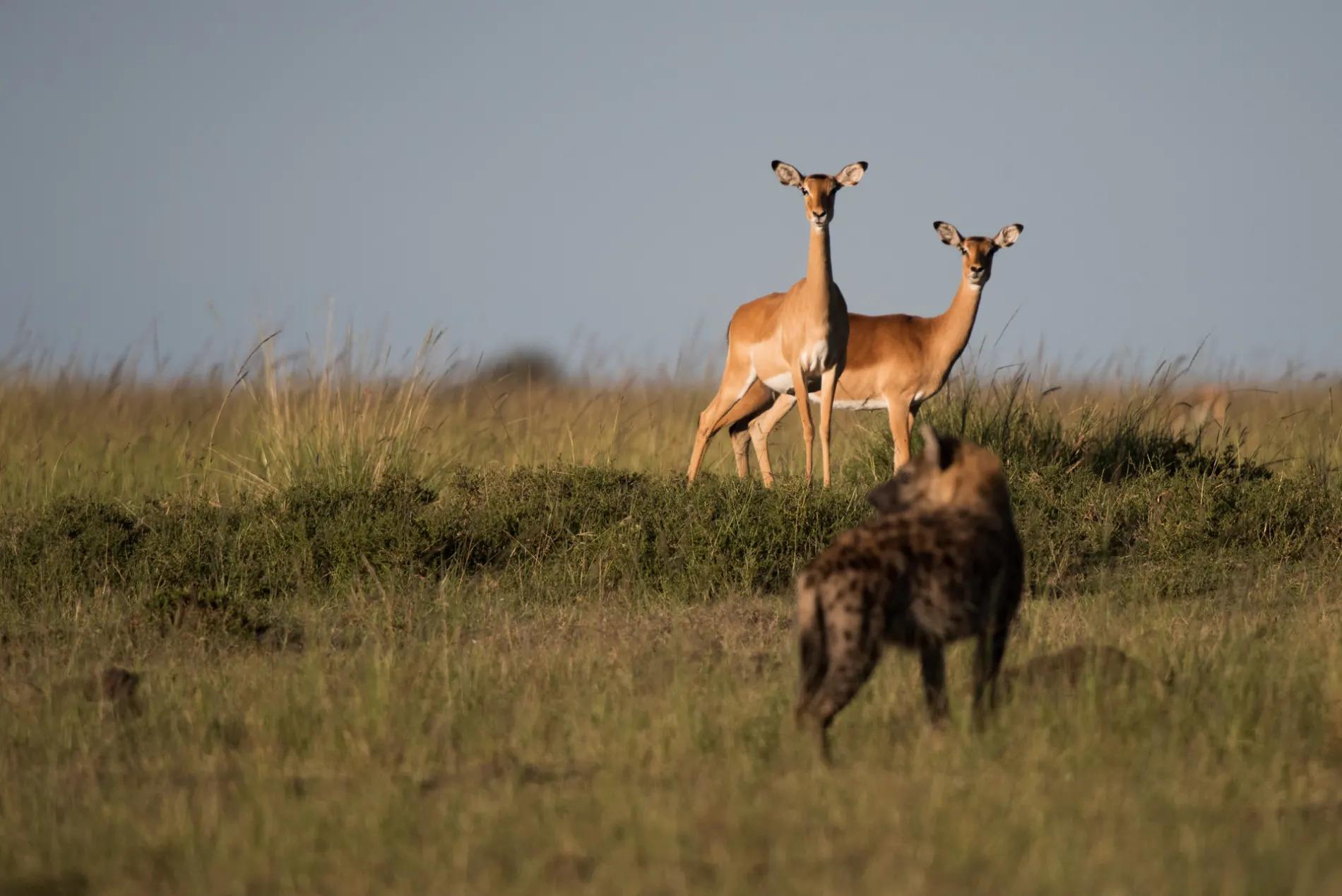 impala and hyena