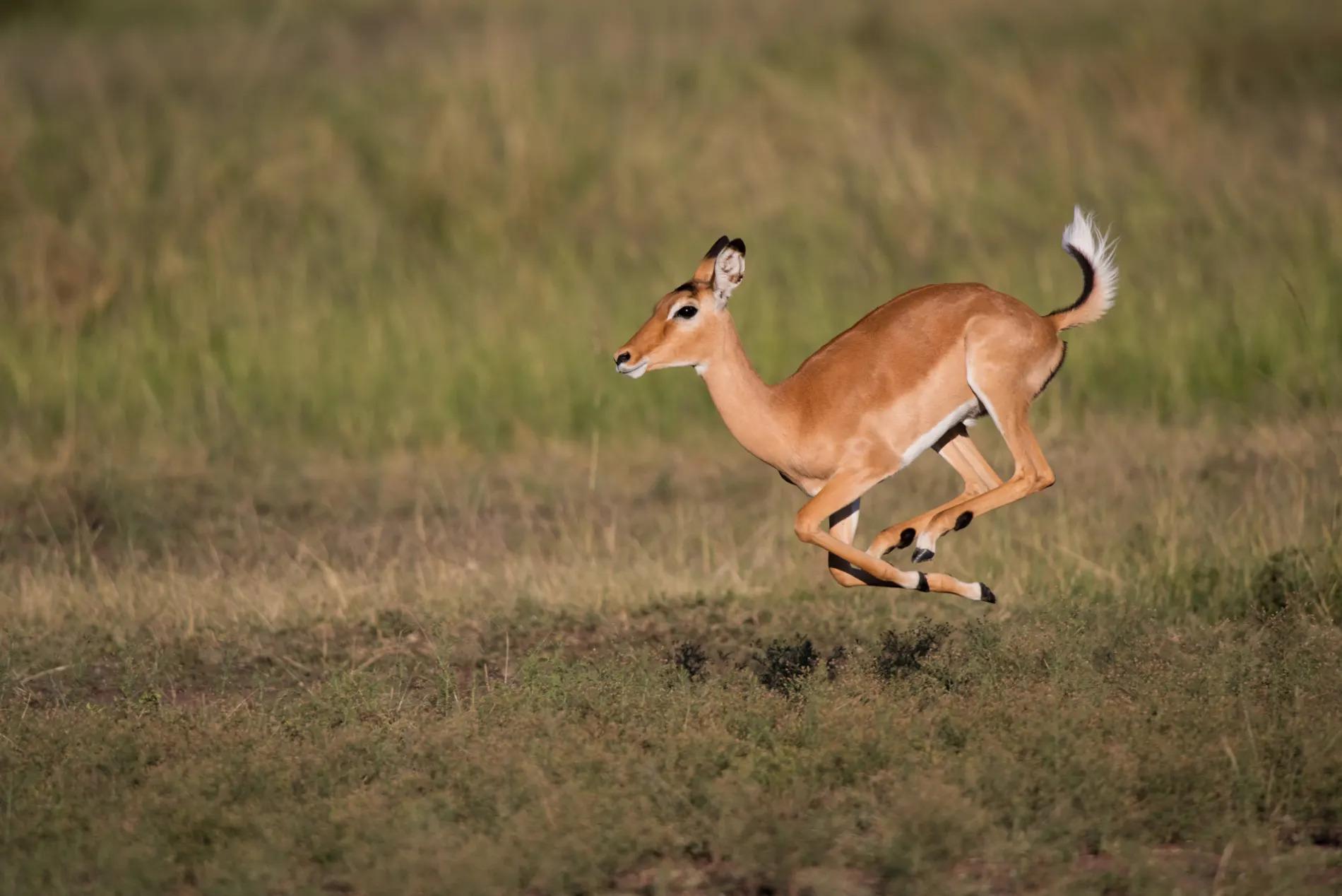 Impala jump 3