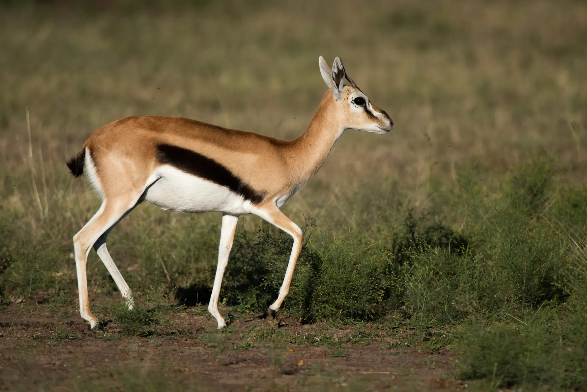 Gazelle mom