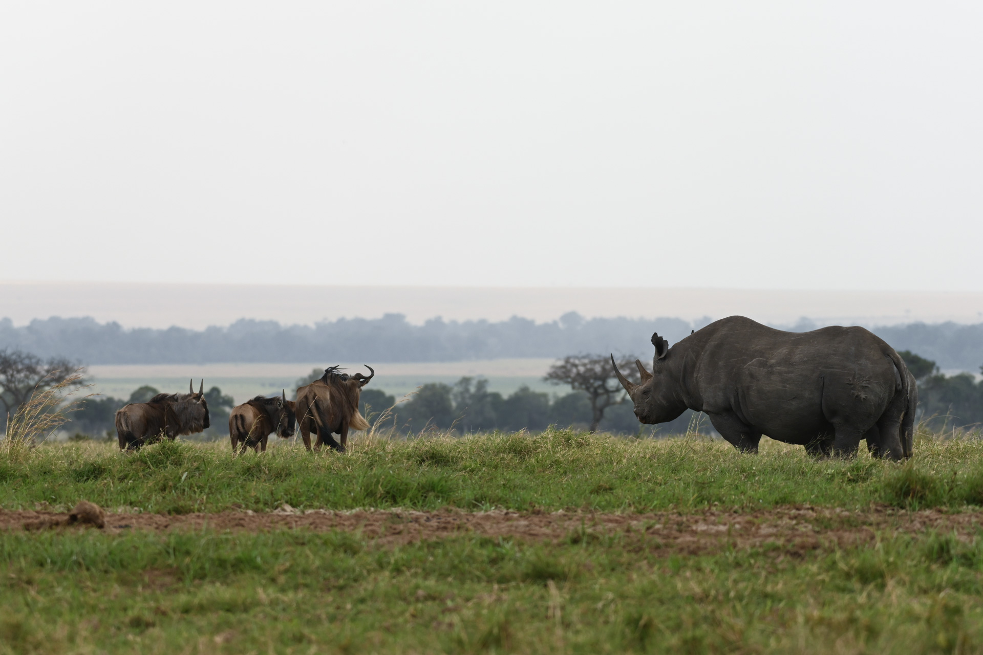 Rhino and wildebeest