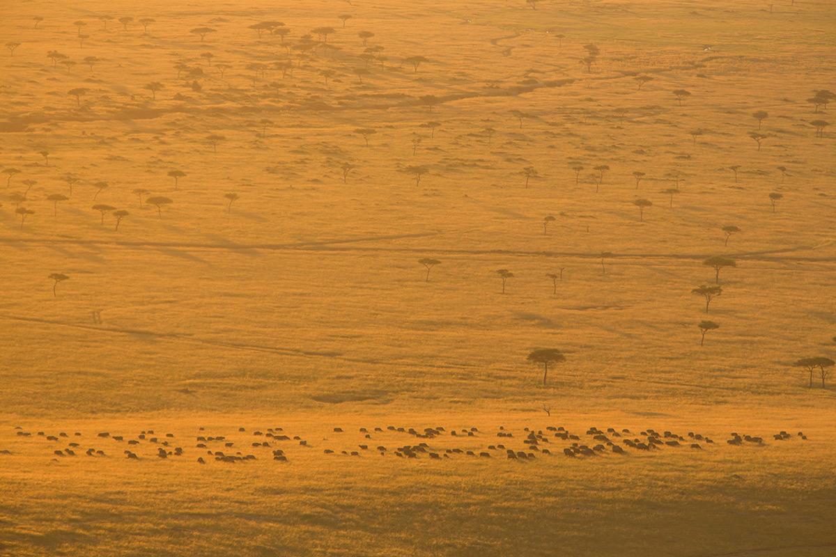 Buffalo-in-morning-light
