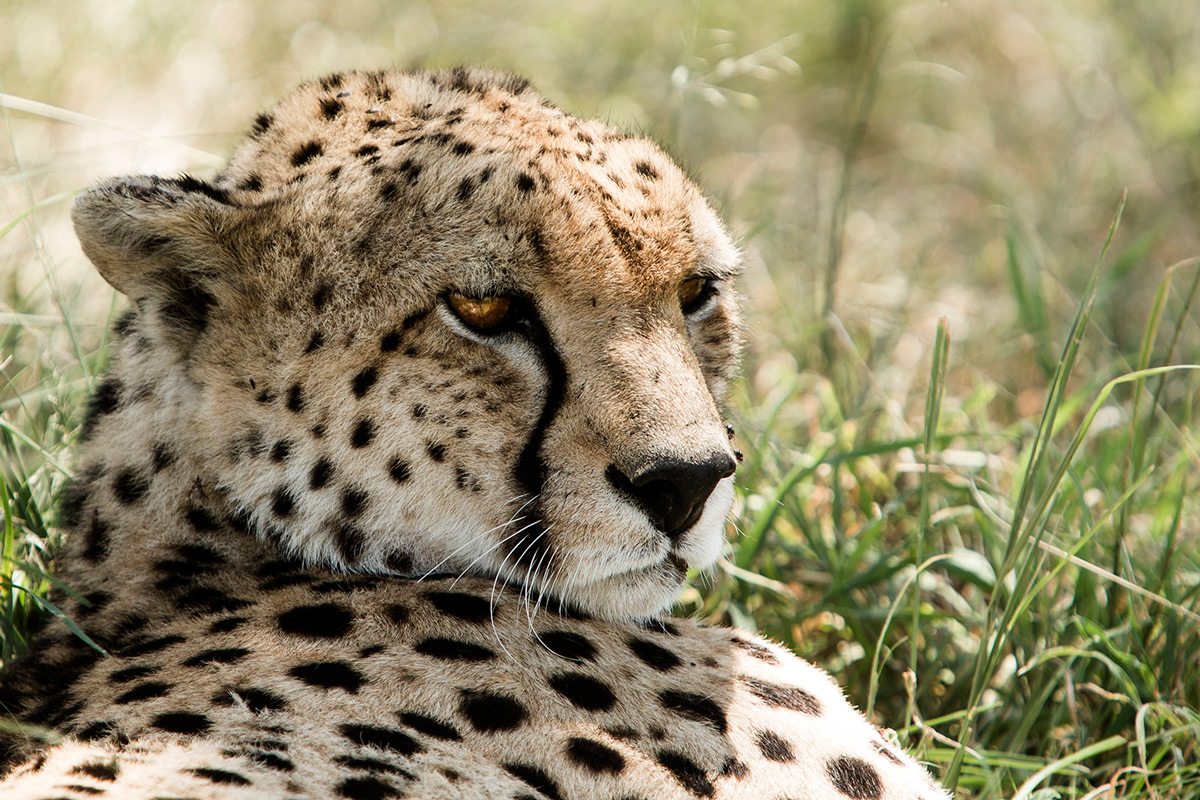 Cheetah-desaturated