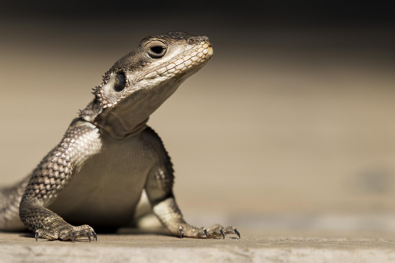 Lizard at The Angama Photographic Studio