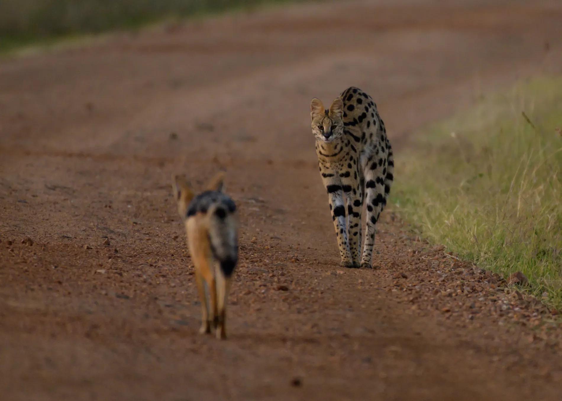 Serval and Jackal