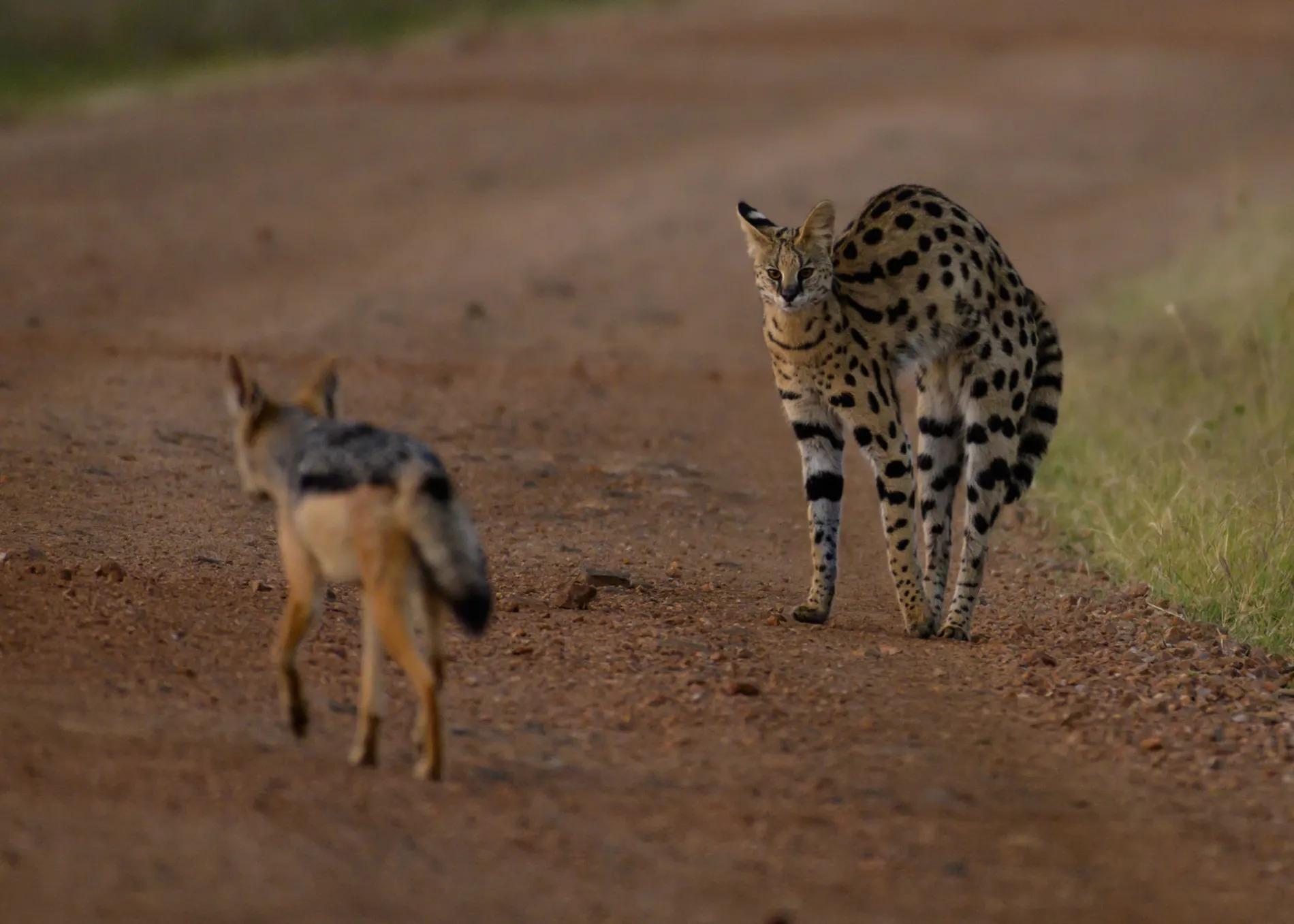 Serval and Jackal 2
