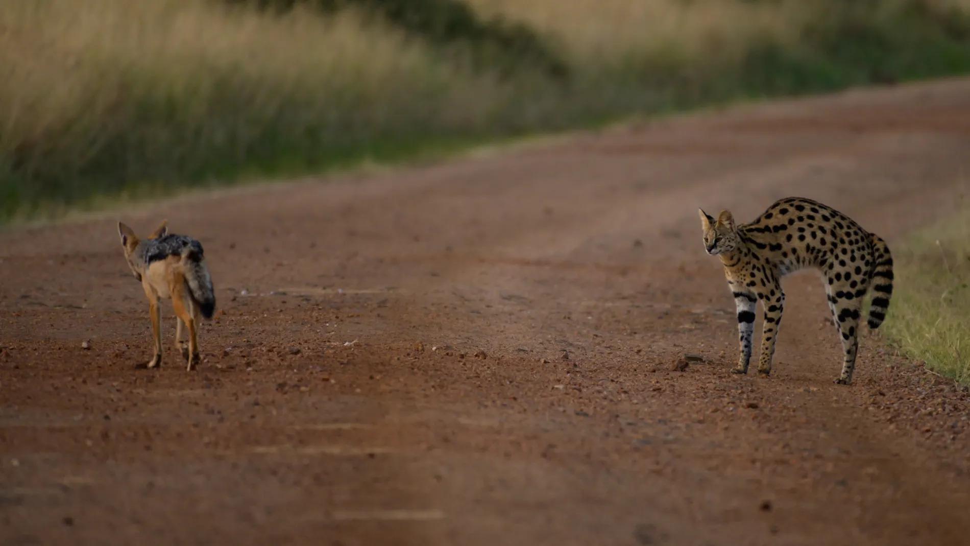 Serval and Jackal 3